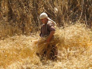 "Ki Tetze – ""Whose harvest is it anyway?"""